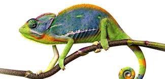 Lizard ch
